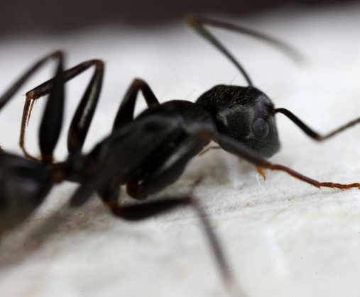 民间流传的黑蚂蚁,能治疗男性阳萎吗?